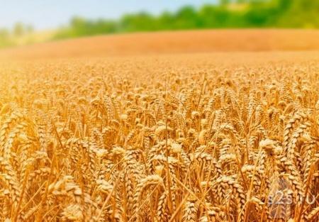 Пшеница 25 тонн на семена или корм животным