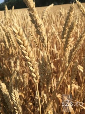 Семена озимой пшеницы сорт Аксинья , Агат Донской, Капитан, Зерноградка11, Изиминка, Находка.
