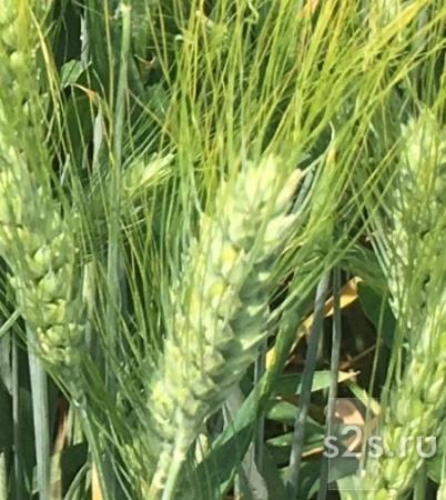 Семена озимой пшеницы Танаис, Лилит, Донская Юбилейная, Ермак, Лидия, Зерноградка 11, Оникс, Диона
