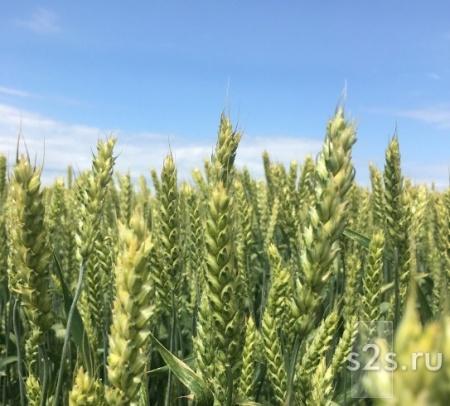 Семена озимой пшеницы Стан, Гром, Табор, Таня, Безостая 100, Агат Донской, Капитан, Находка