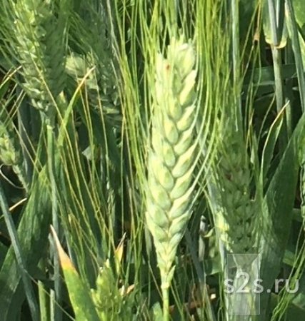 Семена озимой твердой пшеницы сорт Одари