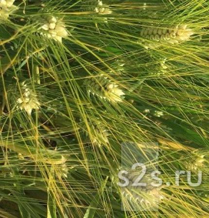 Семена ячменя озимого  Виват,  Ерема,  Маруся,  Тимофей,  Фокс1.
