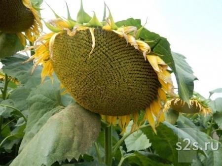 Семена гибрида подсолнечника Эдванс