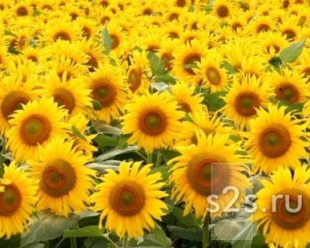 Семена гибридов подсолнечника Sunflower