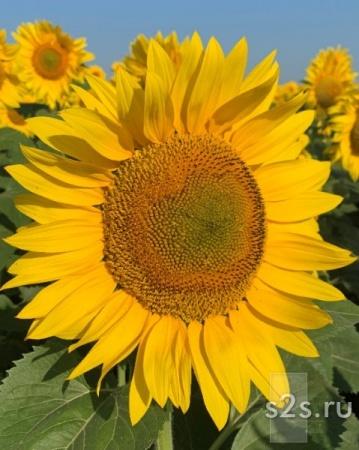 Семена подсолнечника для посева гибрид ИМИДЖ
