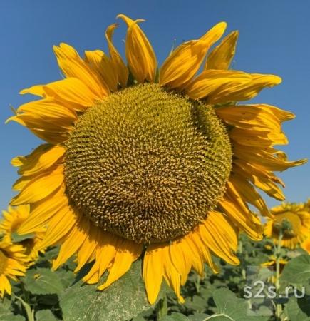 Семена подсолнечника для посева гибрид ГОРФИЛД