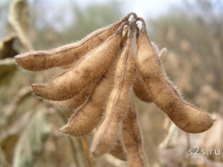 Семена сои для посева сорт СЛАВИЯ